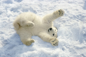 polar-bear-playing-in-the-snow